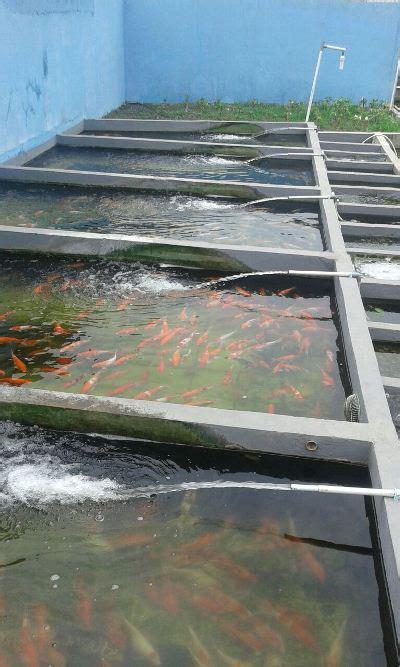 Bibit Ikan Koi Murah pondok ikan farm jual bibit ikan koi murah