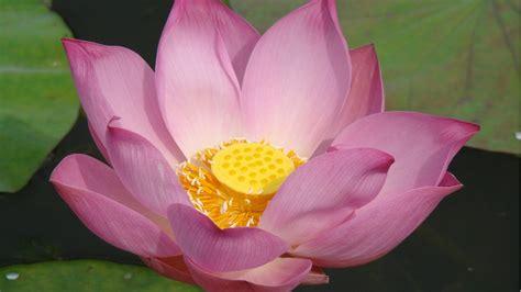 wallpaper pink lotus pink lotus hd desktop wallpaper widescreen high