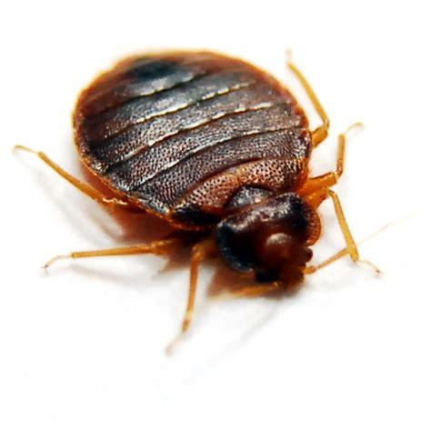 tick vs bed bug bed bug vs tick