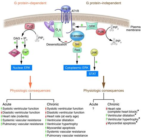 JCI - When 7 transmembrane receptors are not G protein ... G Protein Coupled Receptors Pathway