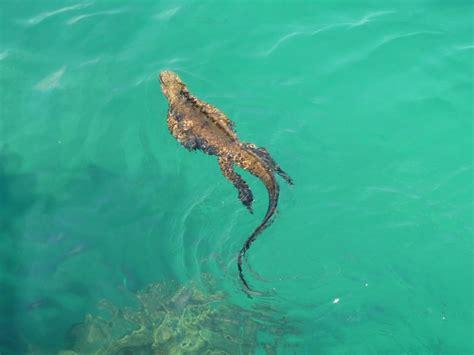Iguana L l iguana marina aknews
