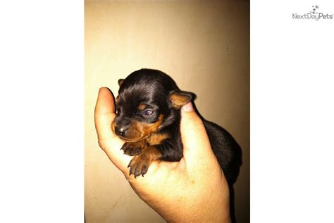 teacup miniature pinscher puppies for sale teacup chihuahua rescue breeds picture