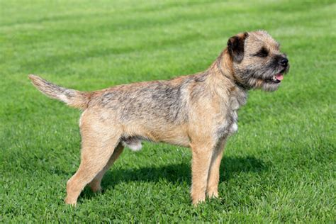 Is Shedding by 10 Non Shedding Dogs Best Breeds For Allergic