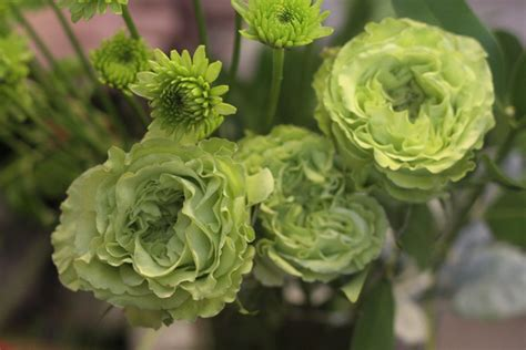 Cabbage Roses   Holly Chapple Holly Chapple Cabbage Roses