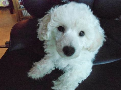 white poodle puppies white miniature pedigree poodle puppy redditch worcestershire pets4homes