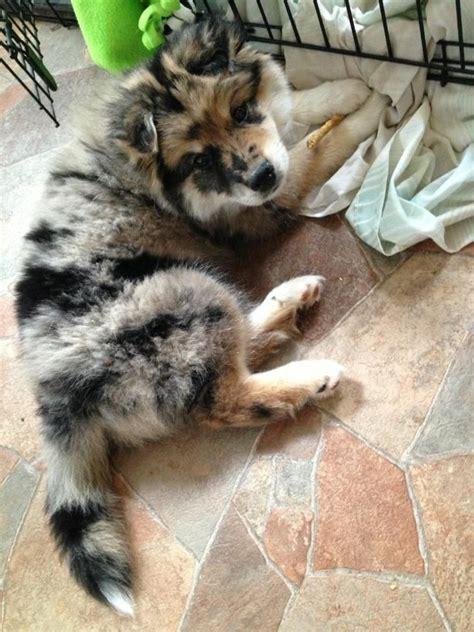 husky x pomeranian australia die 10 besten ideen zu husky mix auf siberische huskywelpen hundebabys