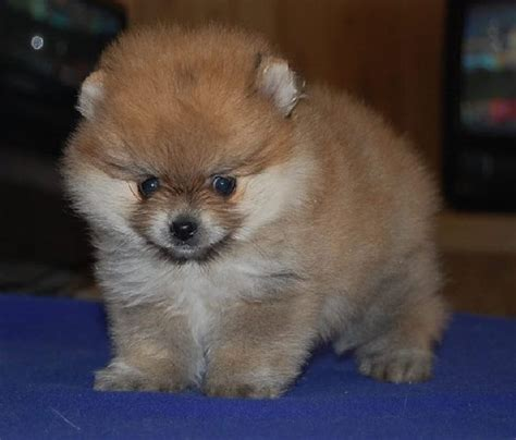 pomeranian puppies for adoption teacup pomeranian puppies rescue breeds picture