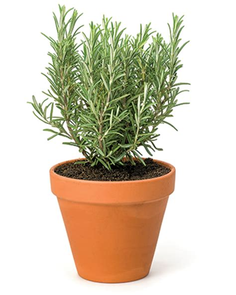 is rosemary safe for dogs herbs that are for dogs modern magazine