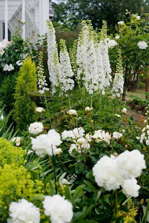 White Garden Flowers A Vignette Of White Delphinium Stalks Peonies And Roses In The Sissinghurst Style White Garden