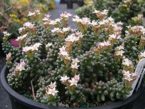 sedum furfuraceum bonsai sedum world  succulents