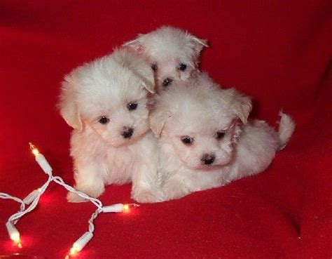 baby maltese puppies baby doll maltese puppies