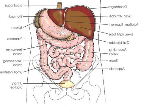 diagram of organs human organs drawing human organs
