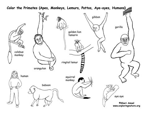 exploring nature coloring pages primates coloring page