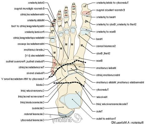 foot diagram foot anatomy bones joints human anatomy diagram