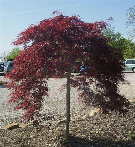 25 best ideas about japanese maple varieties on pinterest japanese maple trees red sunset