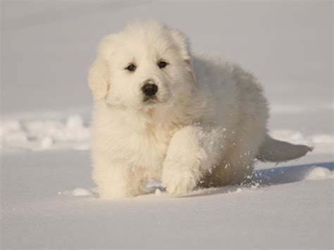 great white pyrenees puppies pyrenees on great pyrenees great pyrenees puppy and mountain dogs