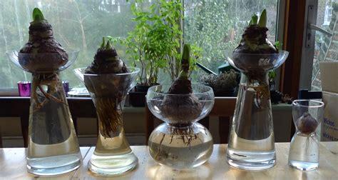 amaryllis in vases garden withindoors