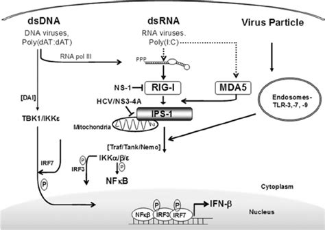 pattern recognition receptors rig ifn activation pathways viral molecules protein rna