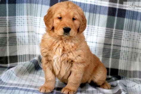 teddy golden retriever teddy golden retriever puppy for sale near lancaster pennsylvania 7497eb29 5661