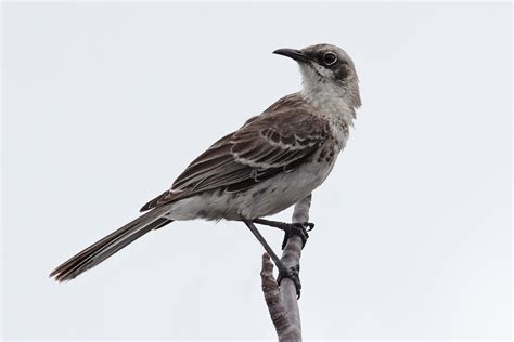 file san cristobal mockingbird jpg wikipedia