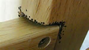 bed bugs invade apex pest