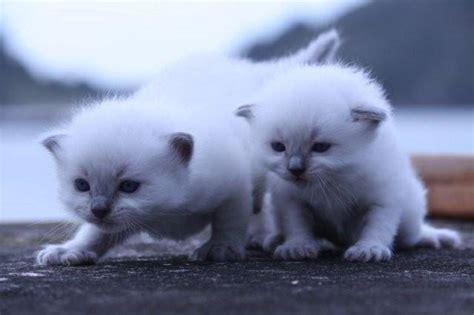 ragdoll cats new zealand gorgeous ragdoll kittens for sale adoption from kerikeri