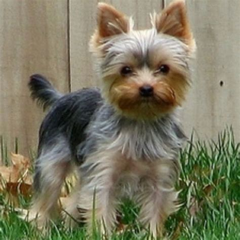tiny yorkie haircuts 17 best images about stella on pinterest shih tzu mix