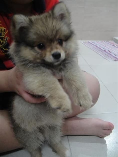 husky puppies for free best 25 pomeranian mix ideas on husky pomeranian mix pomeranian mix