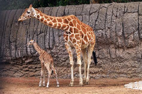 imagenes con jirafas ponle nombre a la jirafa beb 233 del zool 243 gico de chapultepec