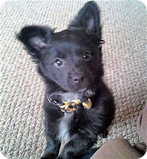 pomeranian rescue michigan teddy adopted puppy brighton mi pomeranian chihuahua mix