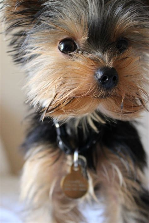 First Yorkie Hair Cuts | madly s first hair cut yorkie puppy yorkys
