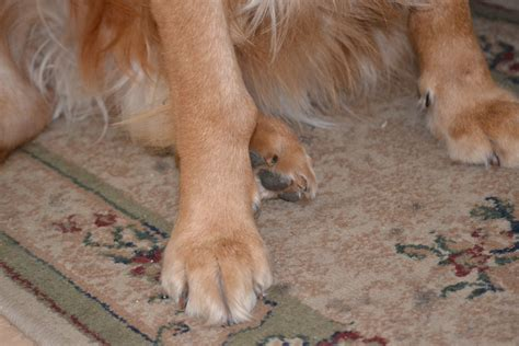 black bump on black lump on dogs leg pictures to pin on pinsdaddy