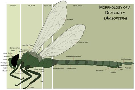 dragonfly anatomy diagram anisoptera