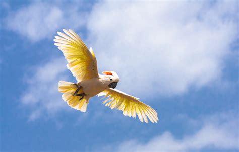 flying on file cacatua moluccensis palmitos park gran canaria