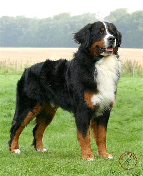 how much are bernese mountain puppies 25 best ideas about bernese mountain dogs on bernese mountain puppy