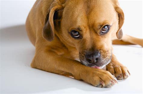 dogs eat vomit