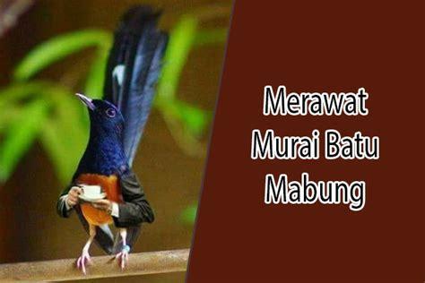 Pakan Branjangan Mabung 20 cara merawat murai batu mabung yang benar kicau burung