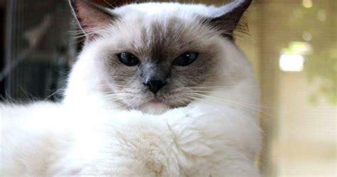 alimentazione ragdoll gatto ragdoll carattere e informazioni sulla razza felina