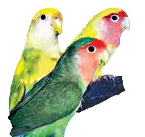 love bird rescue lovebird care facts lovebirds as pets petco
