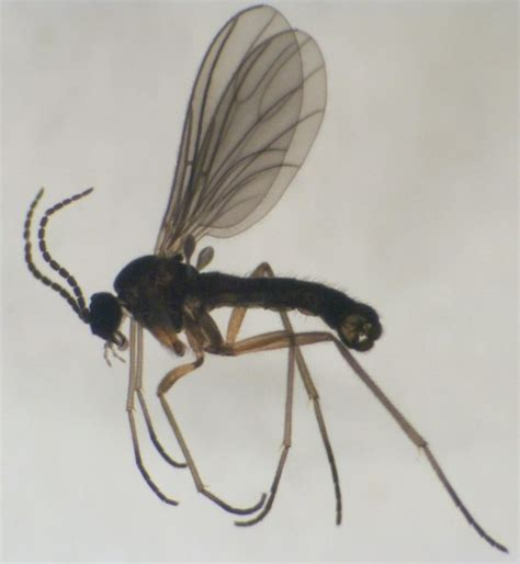 Small Indoor Flying Insects Fungus Gnats