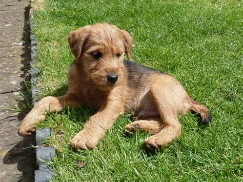 patterdale terrier puppies for sale patterdale terrier pups for sale dogs puppies for sale with free breeds picture