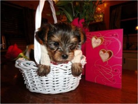 yorkie puppies for sale in new mexico and yorkie puppies for sale new mexico pennsylvania breeds picture