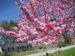 tree with pink flowers trees carpets and cas on