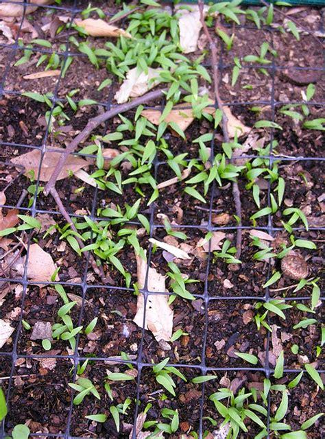 trillium seedling bed 0003 trillium seedling bed 0003