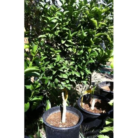 key or mexican lime tree five gallon