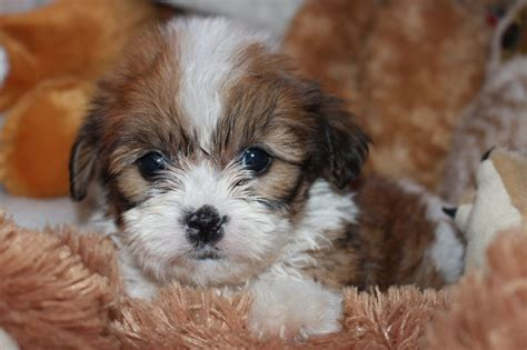 cavachon dogs cavachons by design breeds picture
