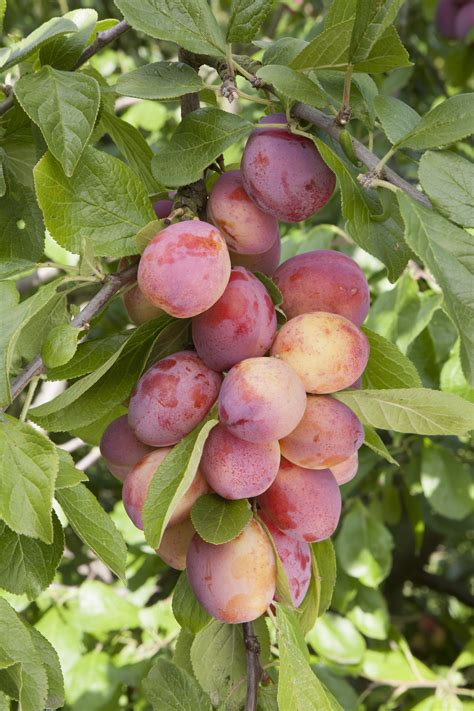 5 fruit tree the five easiest fruit trees to grow the garden