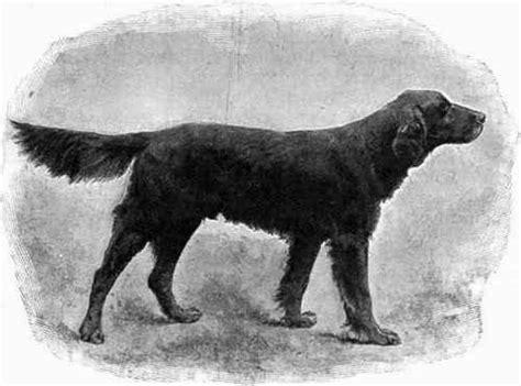 setter dog black the black and tan setter or gordon setter part 2