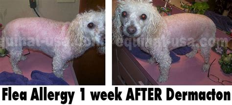 treating allergies in dogs treating flea allergies in dogs naturally equinat usa