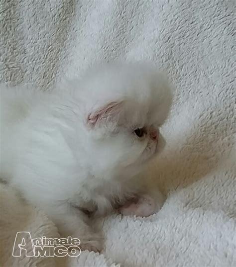 gatti persiani cuccioli vendita cucciolo persiano da privato a cuneo gatti